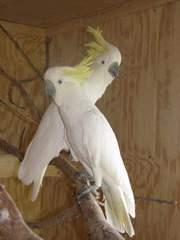 усыновлен мужского и женского какаду,  попугаи.