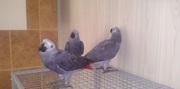 Красивые африканские серые попугаи