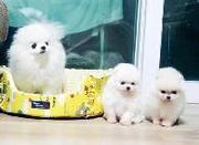 Чистокровные миниатюрные щенки померанского шпица (девочка,  мальчик)
