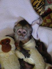 Мы располагаем выдающийся капуцинов обезьяну